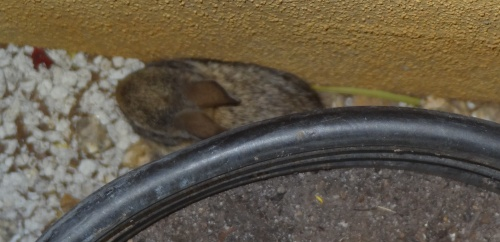 Tiny baby bunny behind the flower pot 5-5-13
